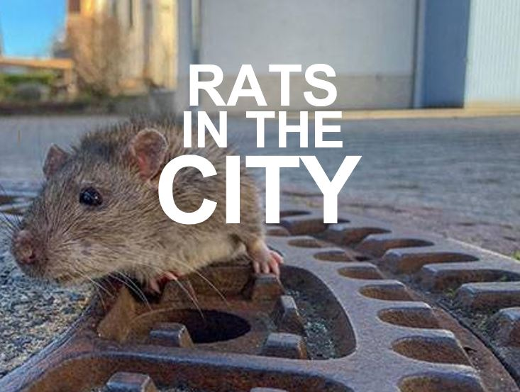 Rats in the city by Apex Pest Control Milton