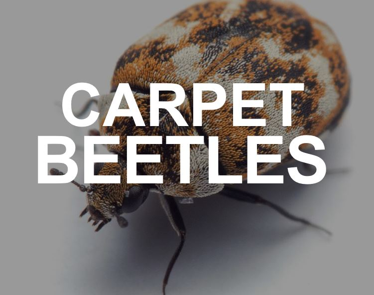 Carpet beetles in the home