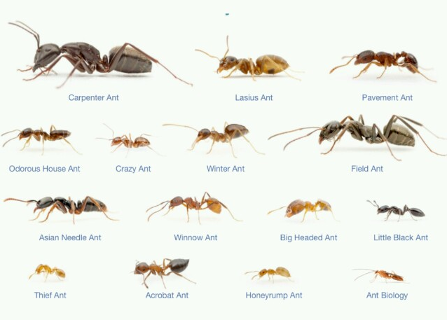 Ant species by size